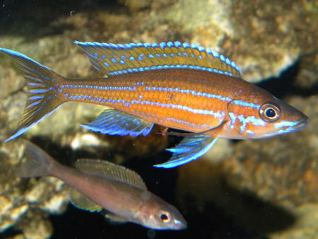Welcome to Aquarium Pictures Blog: Fish Data : ?Blue Neon Cichlid