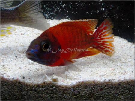 Ruby red cichlid female - photo#11