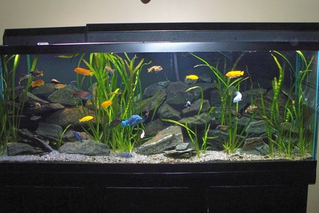 150 gallon African cichlid display