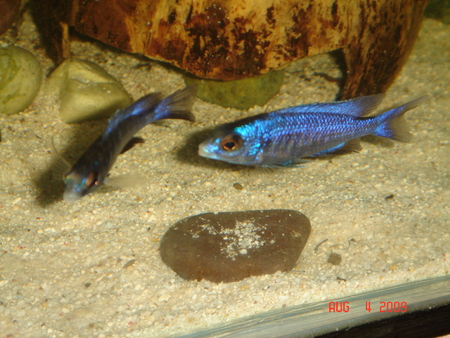 white lips cichlid