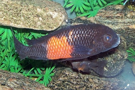 "Tropheus sp. ""Black"" Pemba ""red flame"" Breeding..."