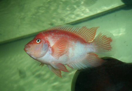 red devil mature personals I have a recently fully mature breeding pair of south american red devil cichlids for sale asking $40 firm as they go for around $20 each at a.