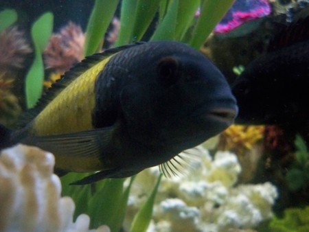 yellow band tropheus