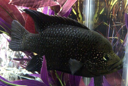 Black Diamond Cichlid :)