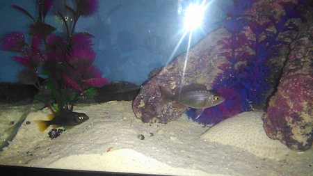 Do anybody know the type of cichlids this is it young about 1 1/2 inches