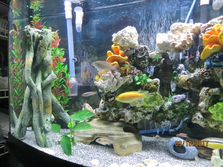 CICHLID TANK NEW FISH