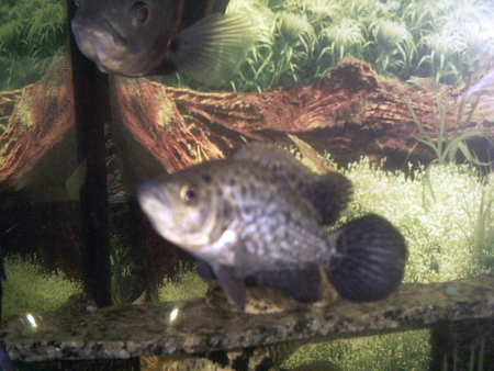 young female wolf cichlid