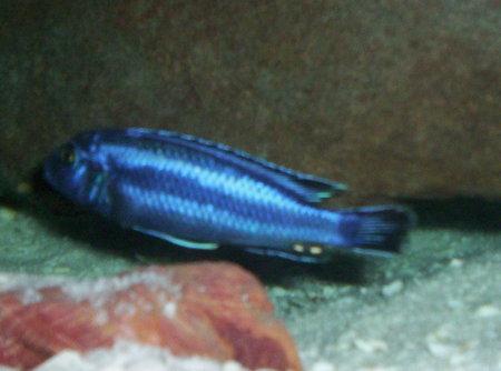 cichlids.com: Melanochromis Johanni