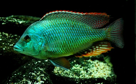 Green face lethrinops...