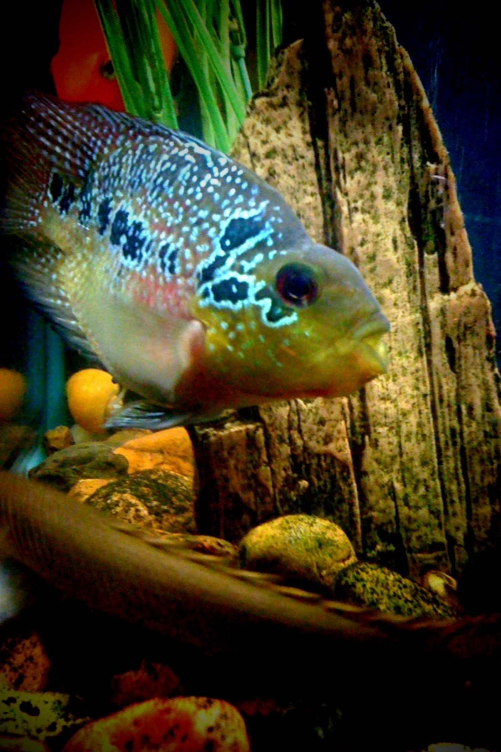 Kirin Bonsai Flowerhorn Parrot Hybrid By Maged Sabry Cichlids Com
