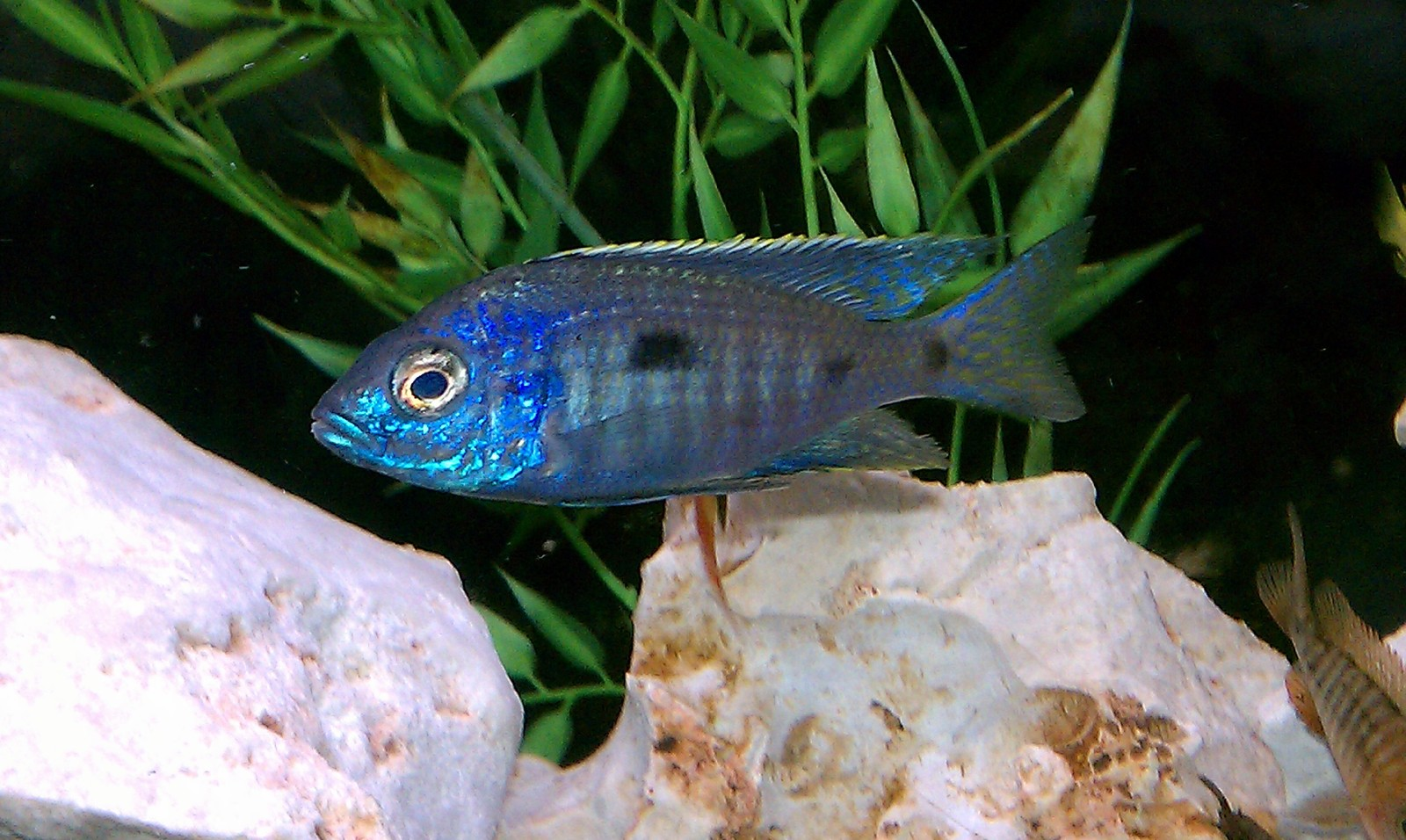 new guy Copadichromis Azureus 2"