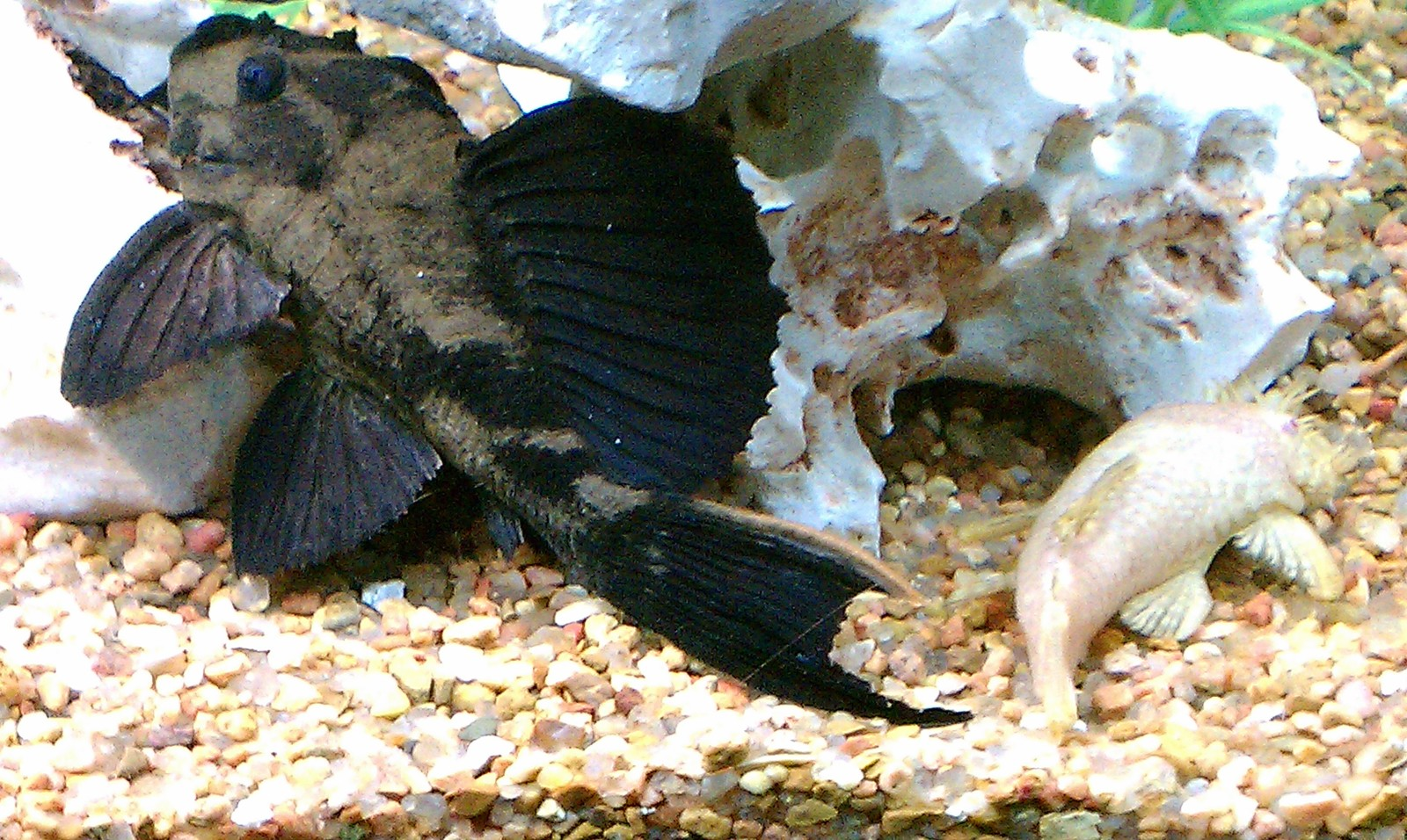Rhino and ABN male Plecos | by Jerry C