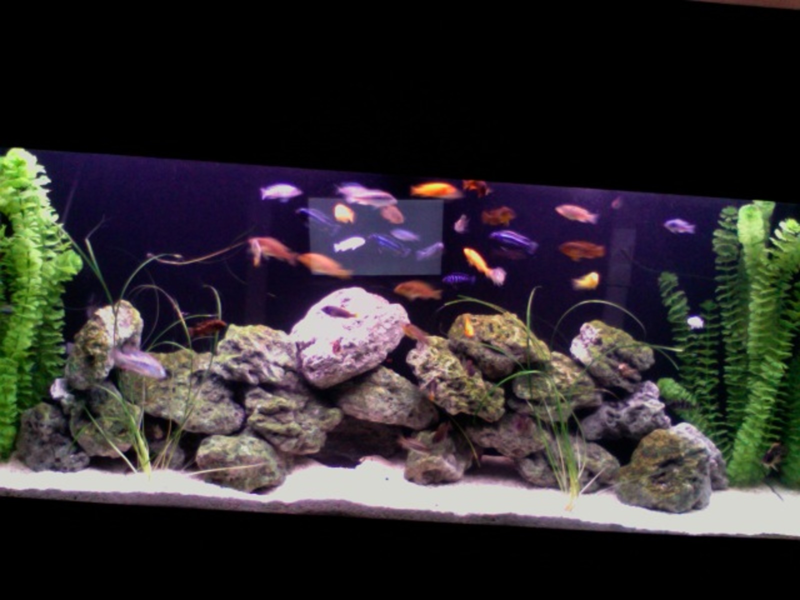 55 gallon cichlid tank