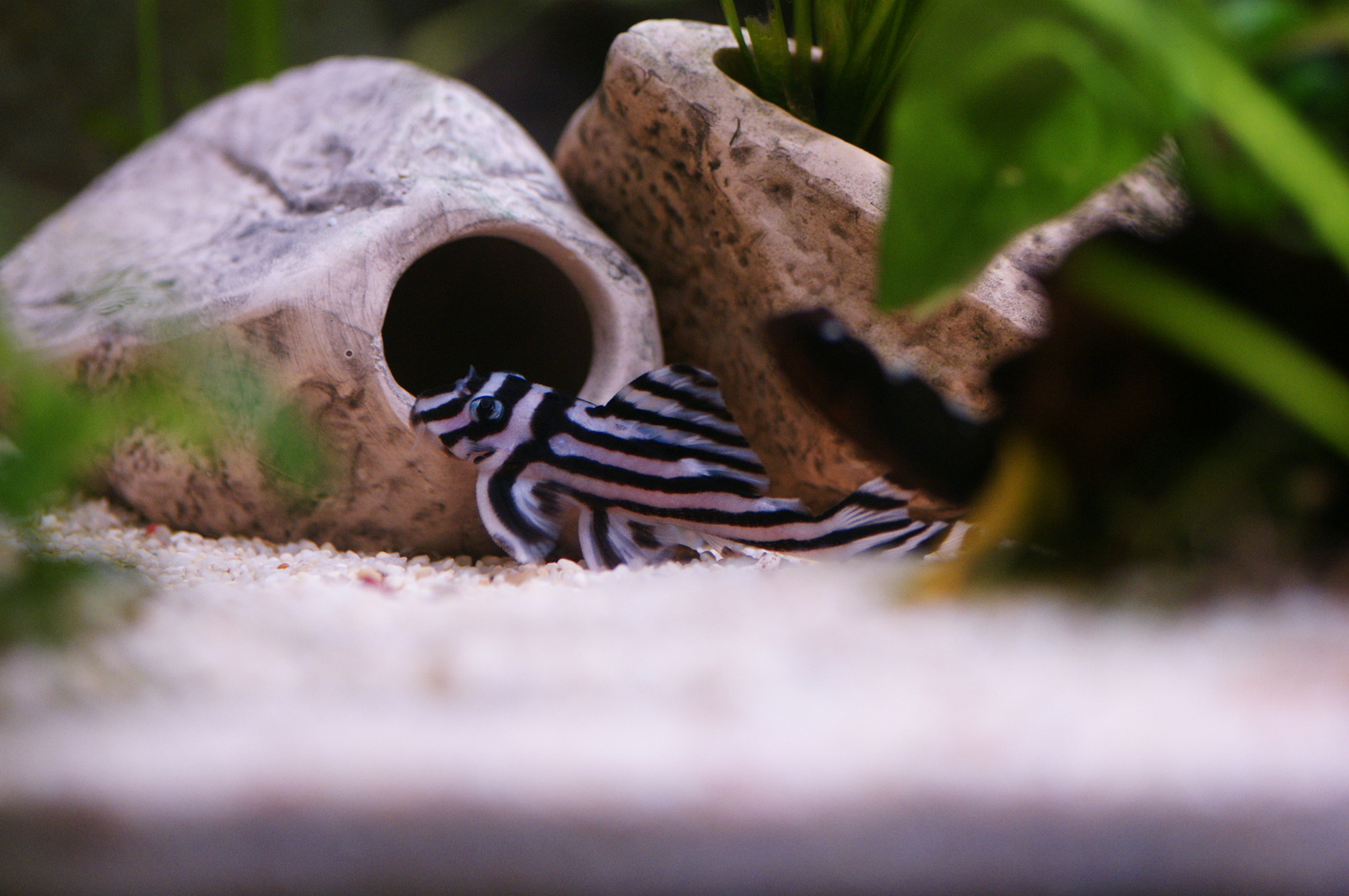 Zebra Pleco L046 | by Sean Mills