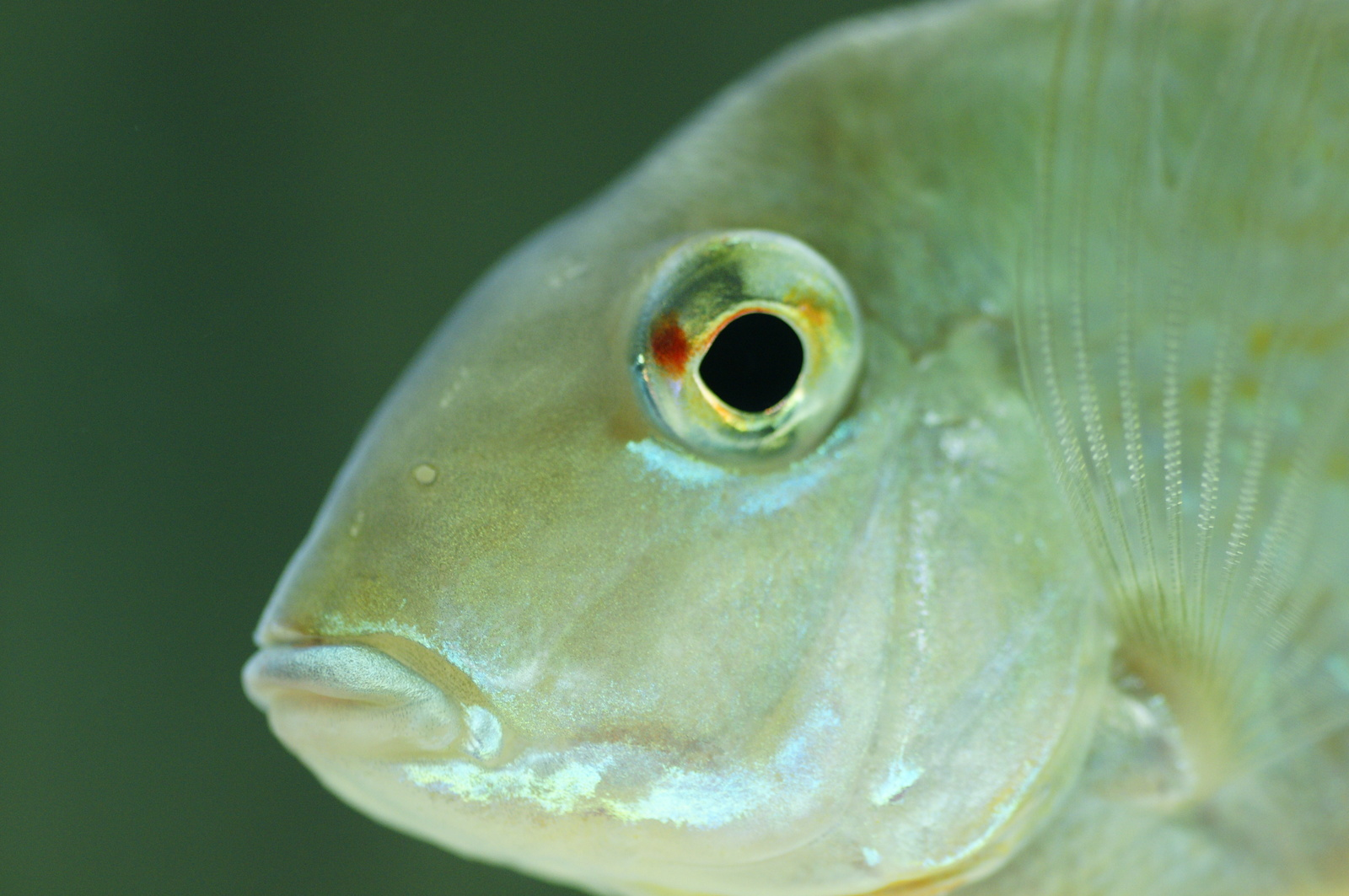 Geophagus up close | by Sean Mills
