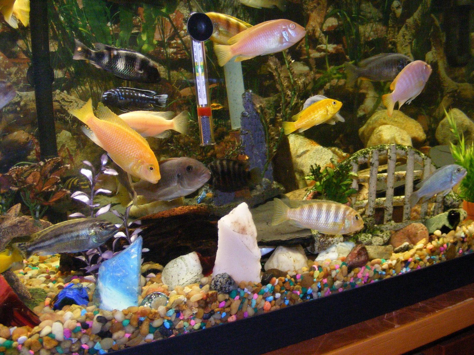 75-gallon mixed african tank | by Larry Donelson