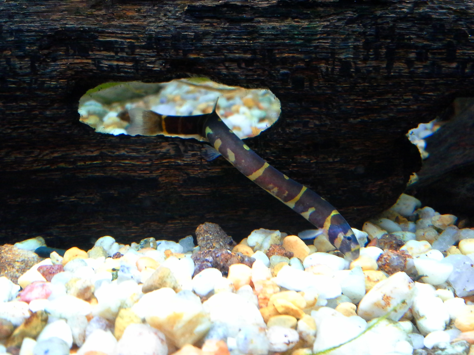 this coolie the kuhli loach  | by john chambers
