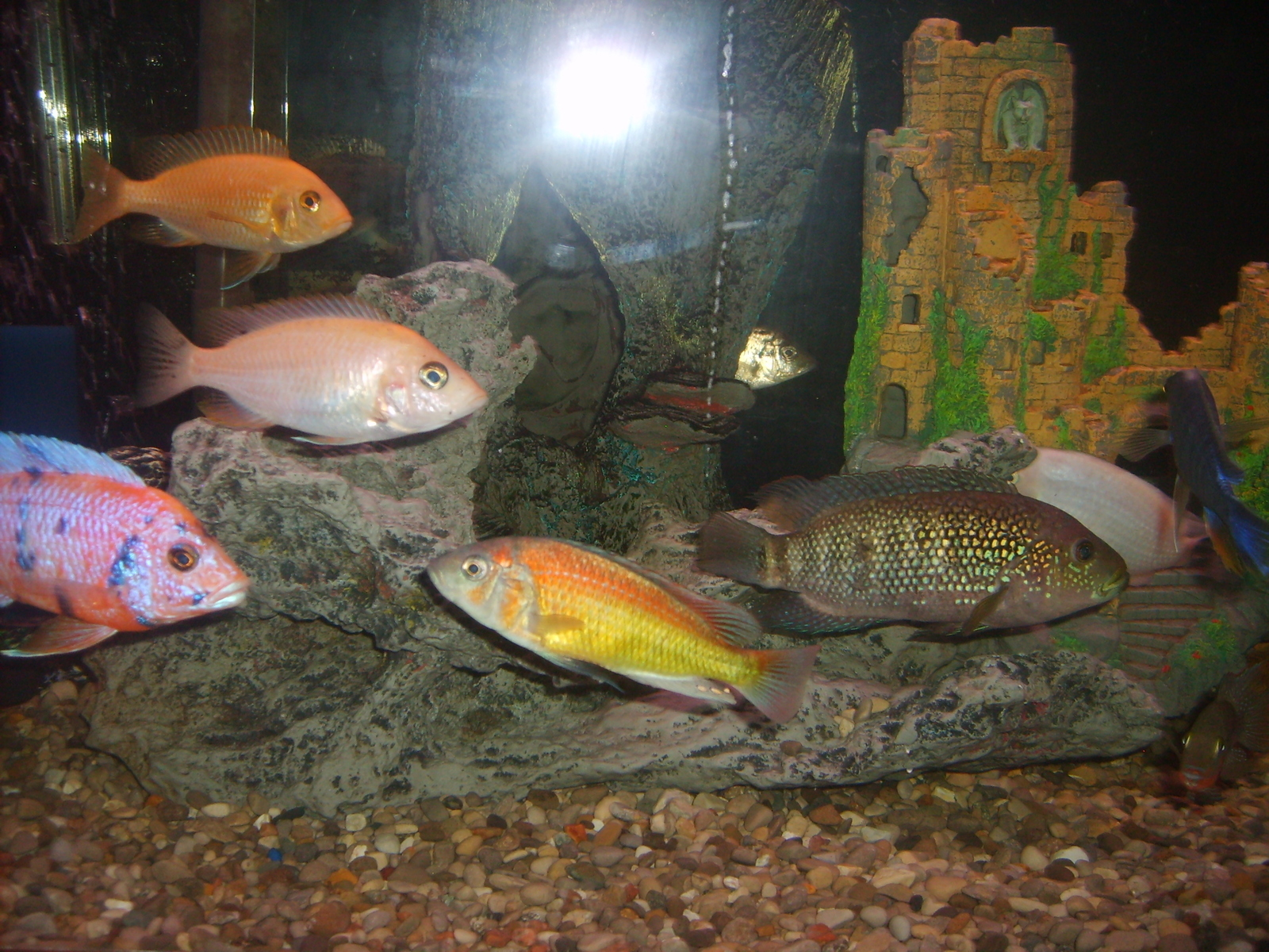 Mix cichlids | by Frank Martin