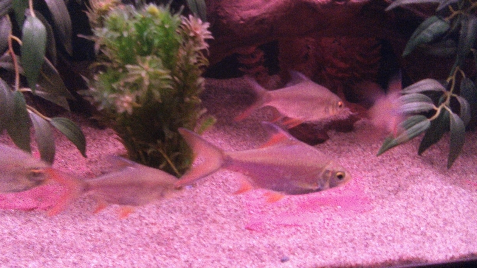 7 New Tinfoil Barbs in with EBJD and Normal Jack Dempsey, now the dempseys are not as shy as they use to be. | by J B
