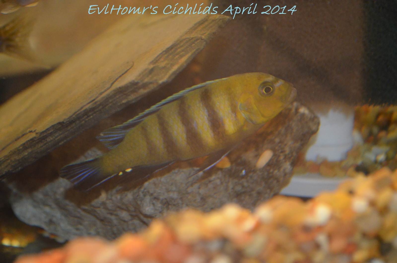 Lion's Cove Afra | by EvlHomr's Cichlids