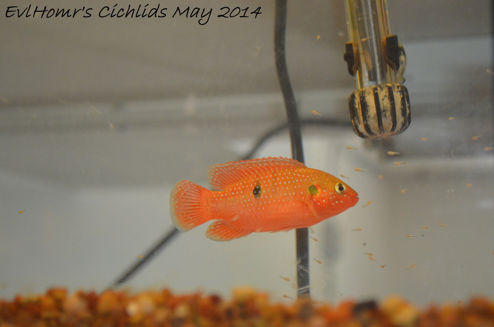 Jewel with fry | by EvlHomr's Cichlids