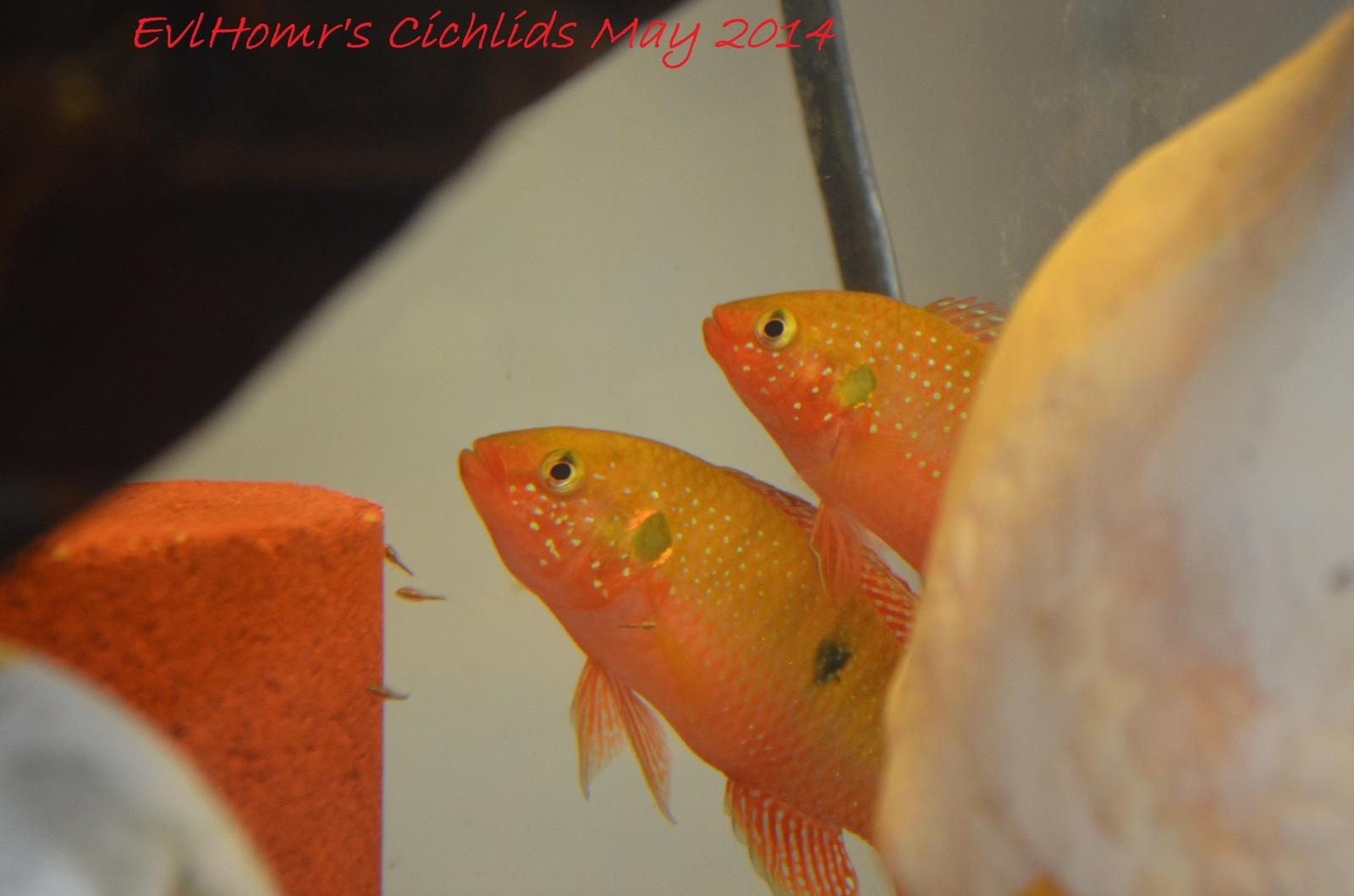 Family portrait | by EvlHomr's Cichlids