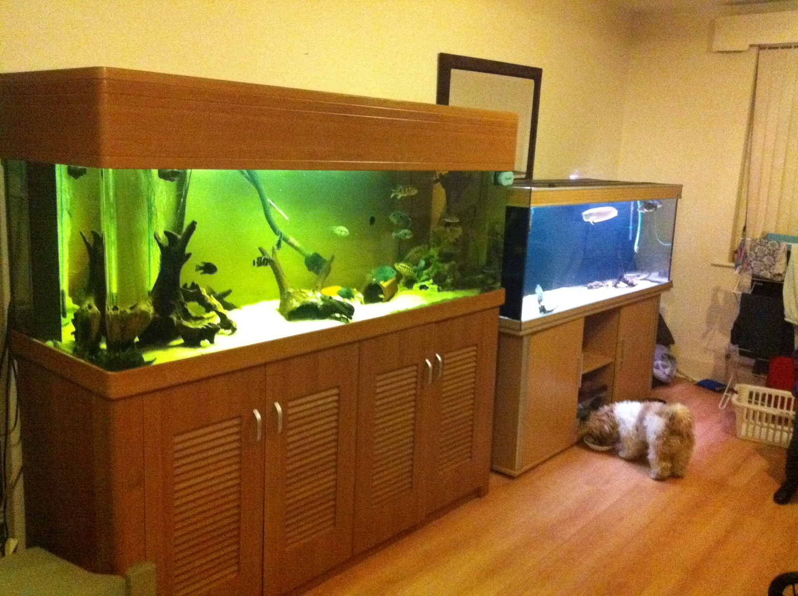cichlids and preditor tanks