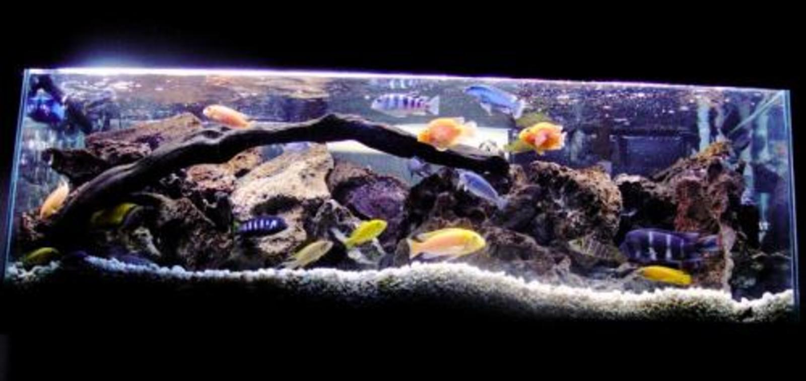 The Cichlid Combo