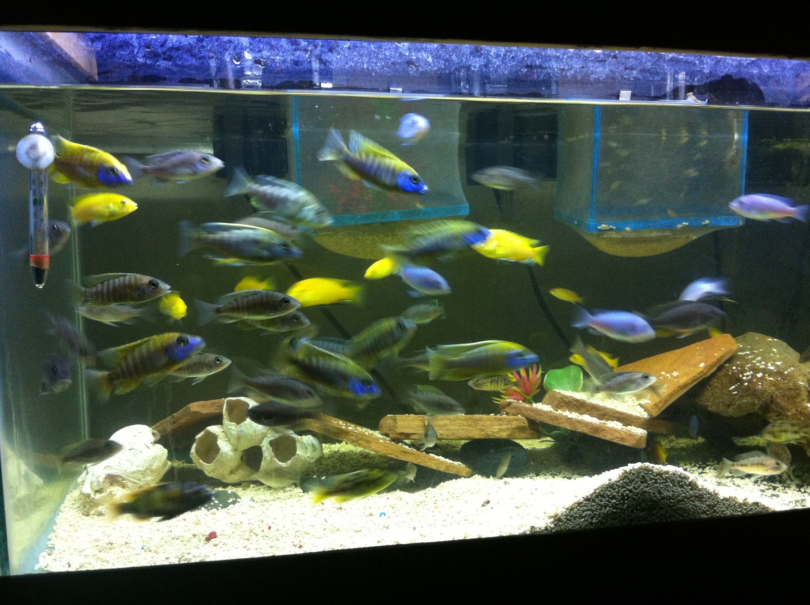 My 40 gallon grow out tank with mixed cichlids | by ruben ruelas