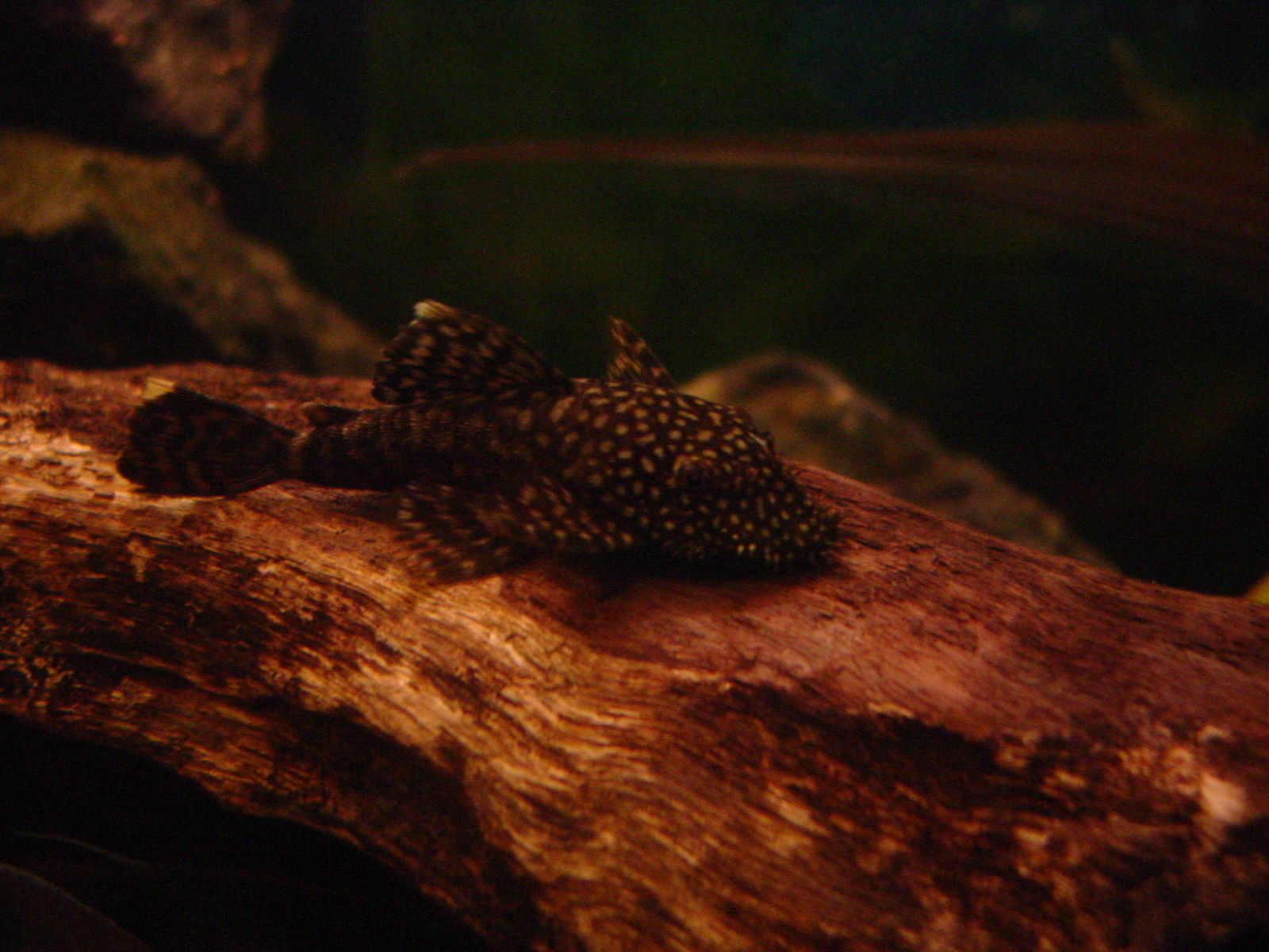 some help with this pleco... | by Roberto Gutierrez
