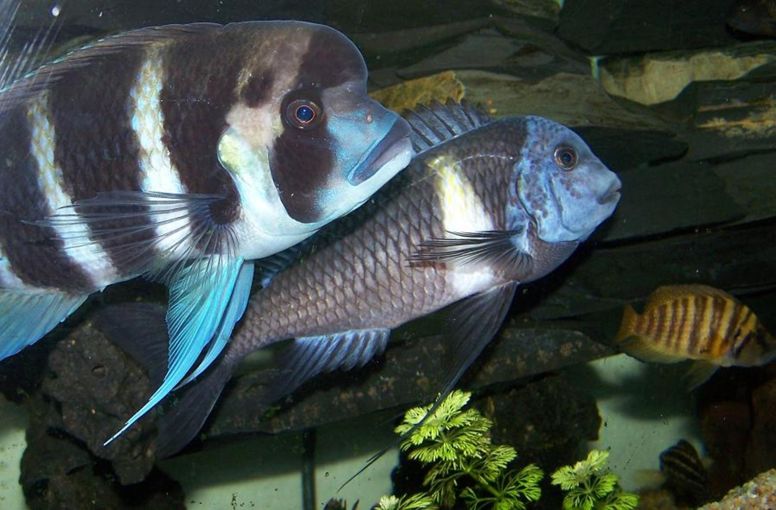 Tropheus Duboisi and Cyphotilapia Frontosa | by todd johnson