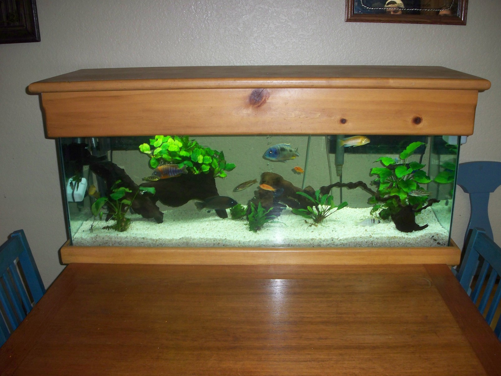 60 gallon Malawi tank | by todd johnson