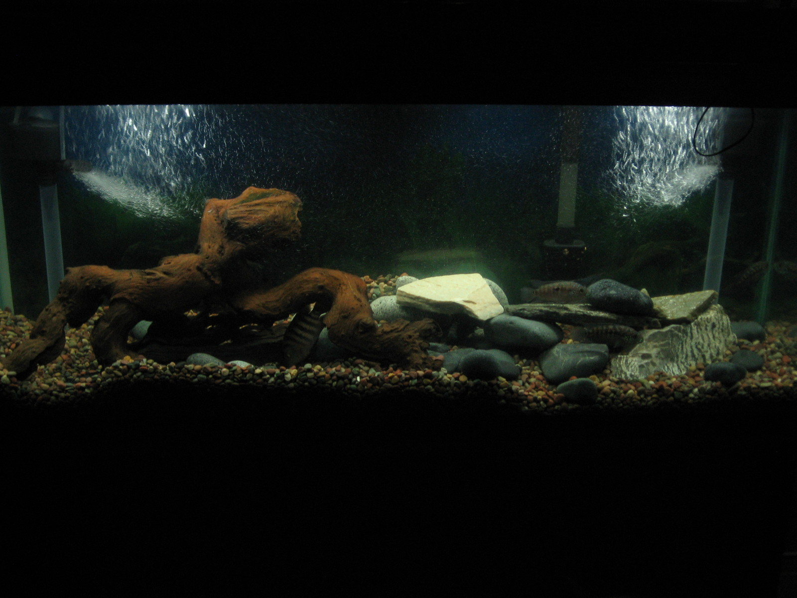 American Cichlid Tank | by Red Terror