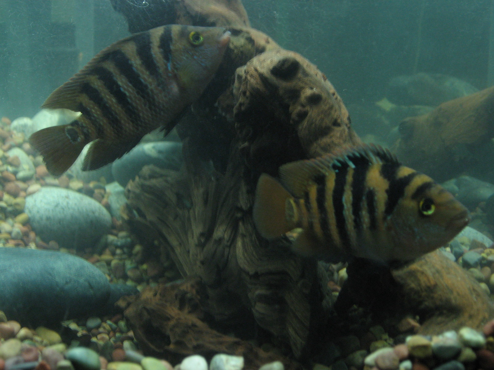 Mayan Cichlid Pair aka False Red Terror | by Red Terror