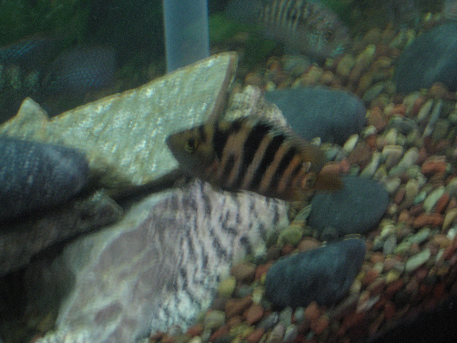 Mayan Cichlid (False Red Terror) | by Red Terror