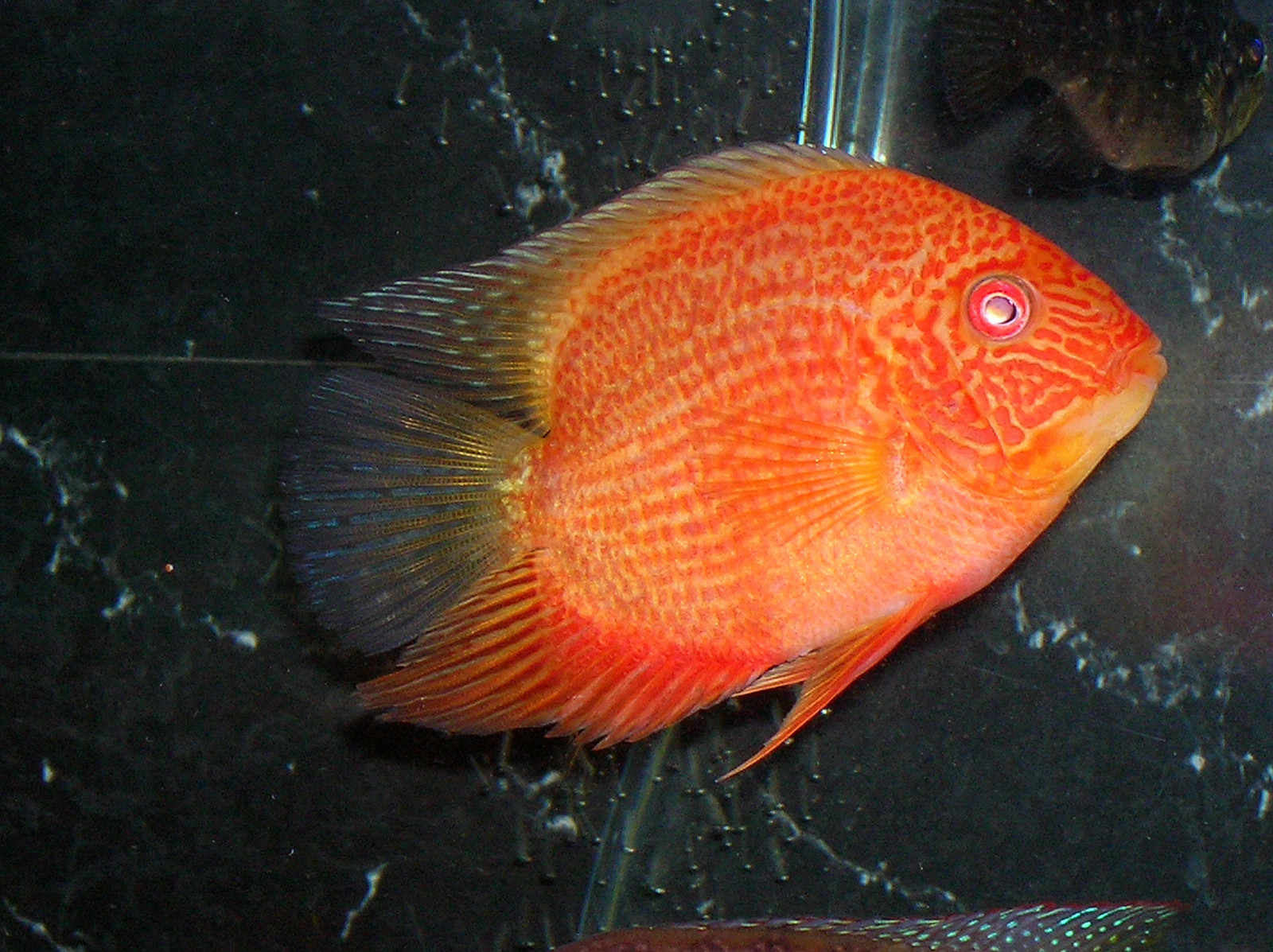 "5"" super red gold severum male 