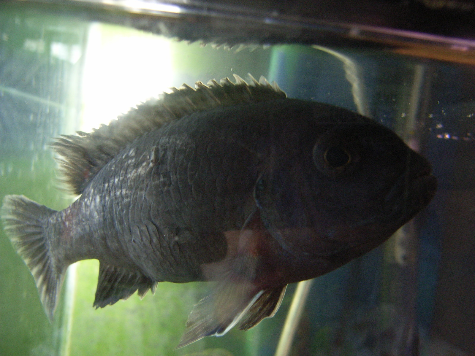 ID my Cichlid please. | by BlueBerry Wizard