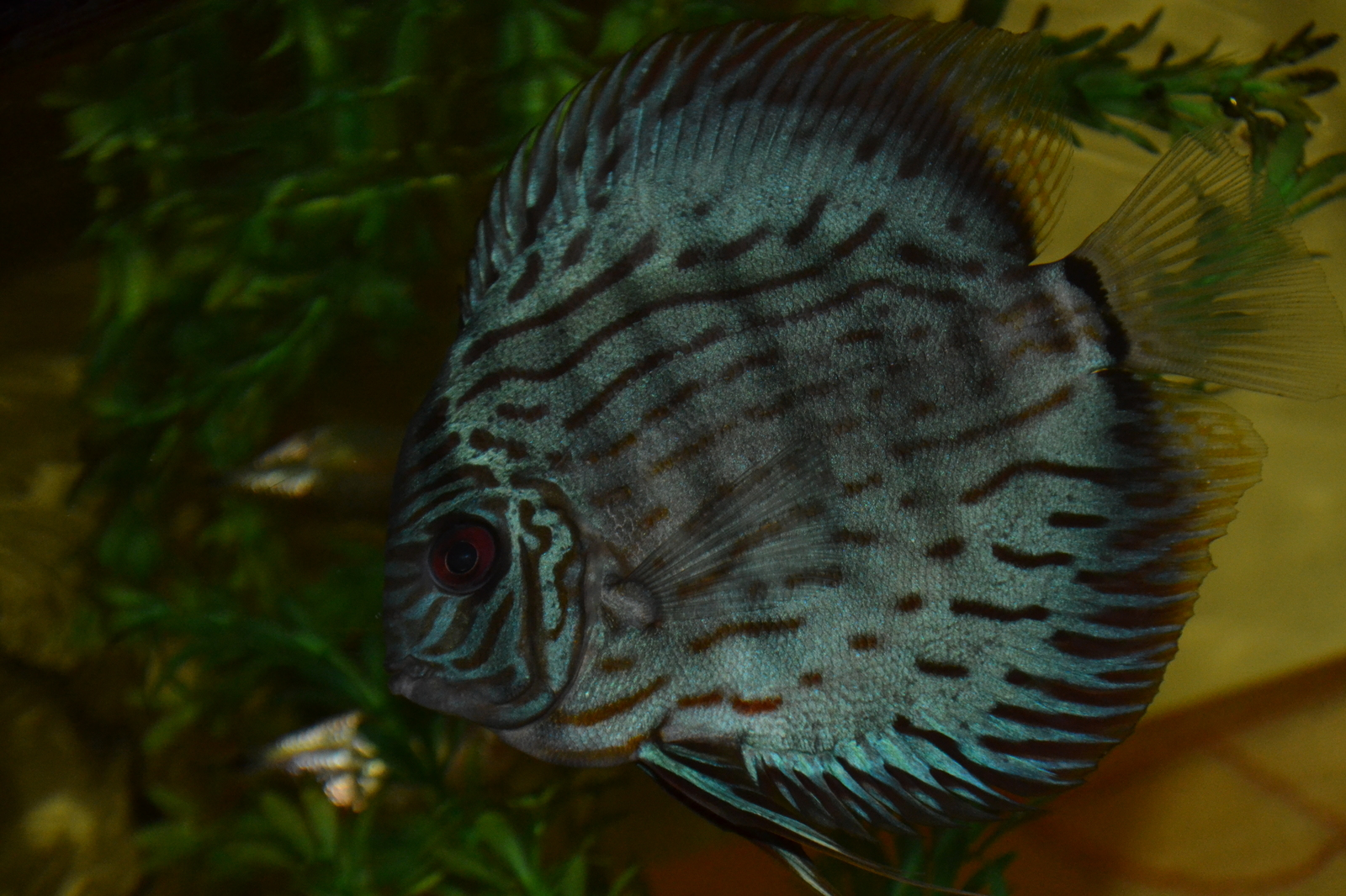 Turquoise Discus  | by Cameron Gillman