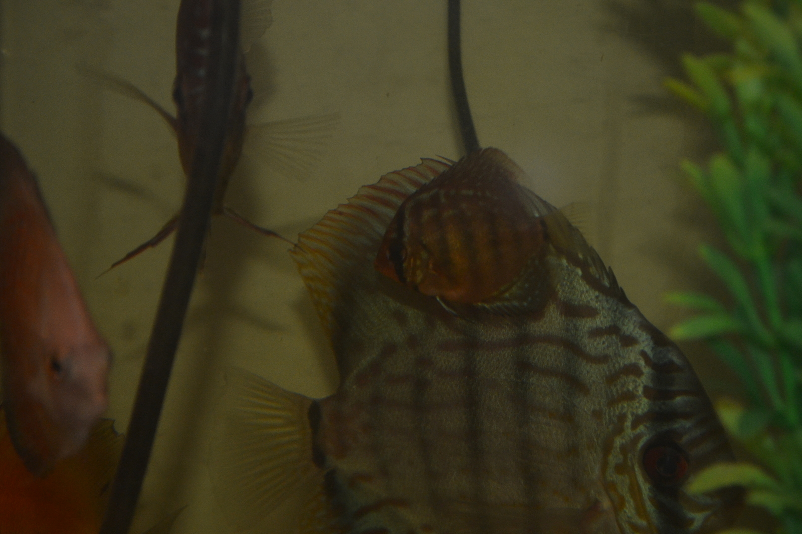 Tefe Green x Red Discus | by Cameron Gillman