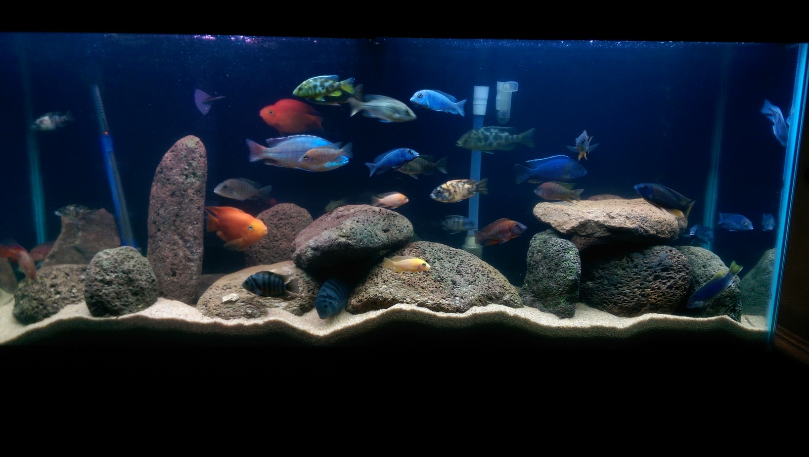 Peacocks/ Haps/ South American Cichlids  | by Rivera Rico