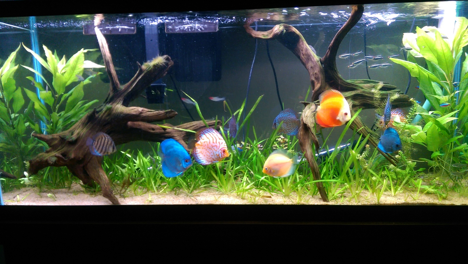 55 gallon low tech planted Discus Tank.  | by Rivera Rico