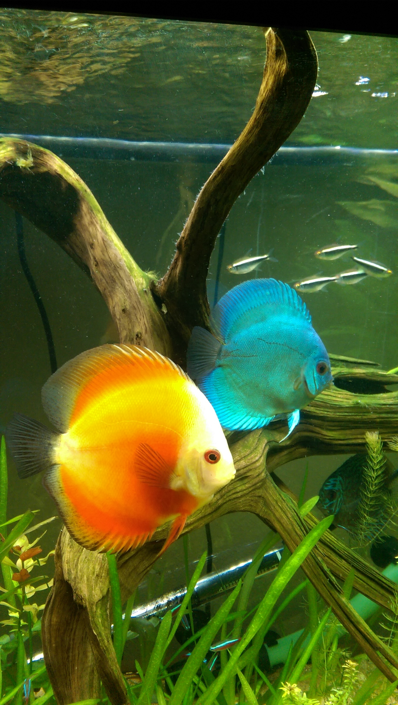 Red Melon and Blue Diamond Discus | by Rivera Rico