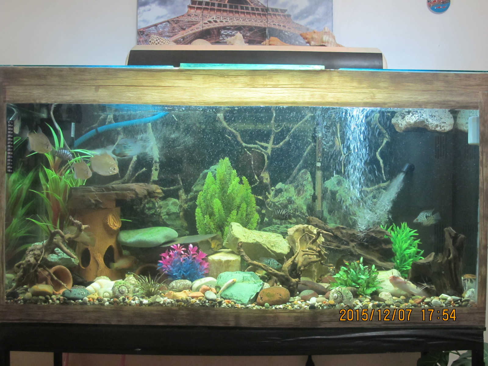 My cichlids1 | by hamid bird