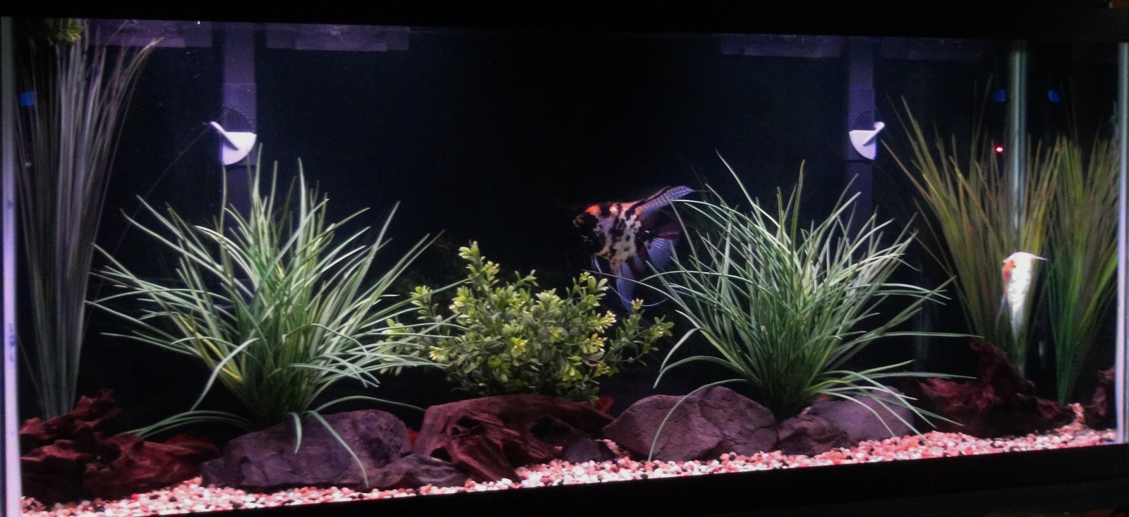 55 Gallon Angelfish Tank | by Dawn Walters