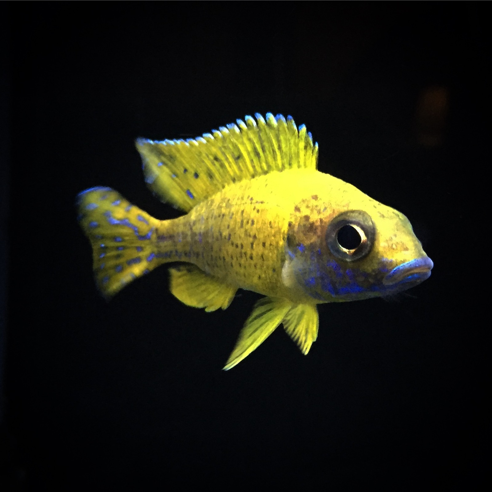 Pete's Cichlids | by Peter Sankowsky