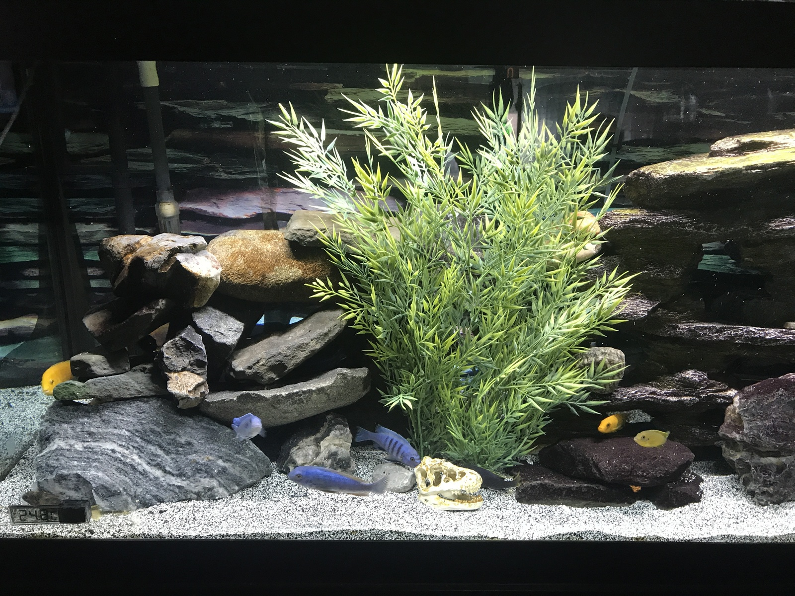 My new plant elite cichlids  | by chris luciano