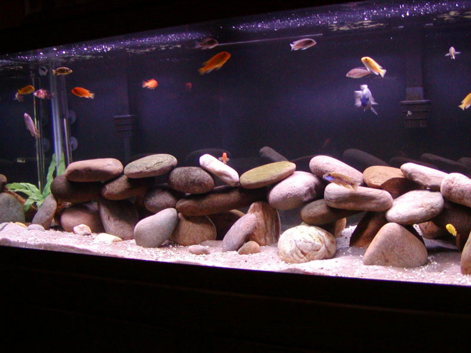 My 75 gallon mixed africans | by Maria Thomas