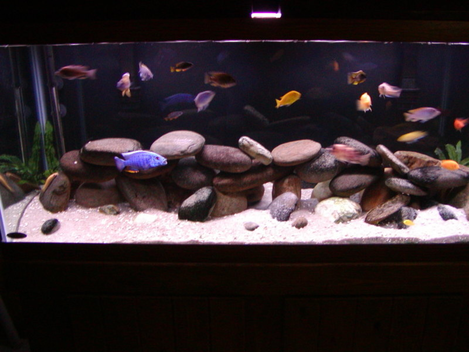 My 75 gallon mixed african tank | by Maria Thomas