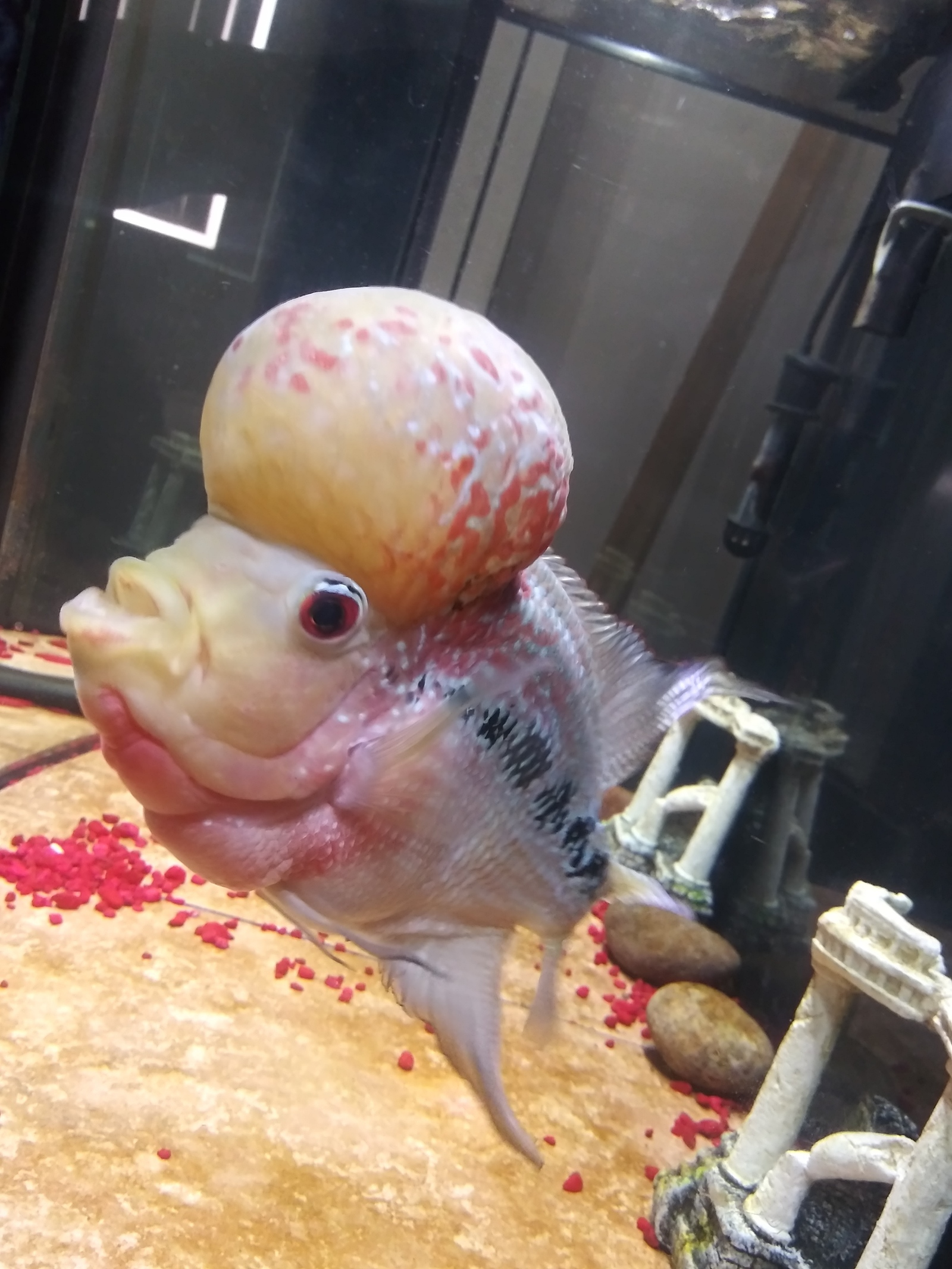 Nutjob the flowerhorn | by david washington