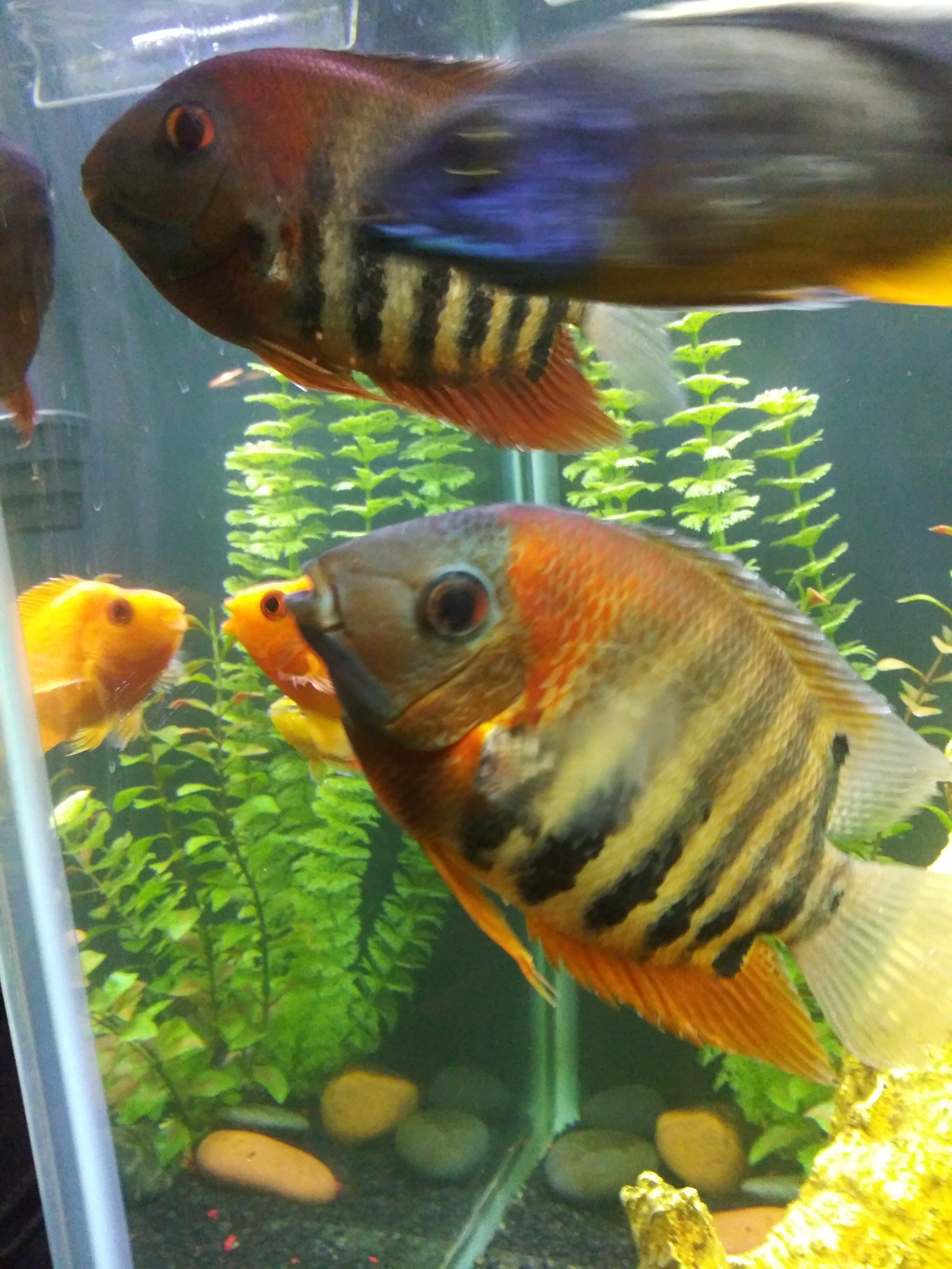Red shoulder severums | by david washington